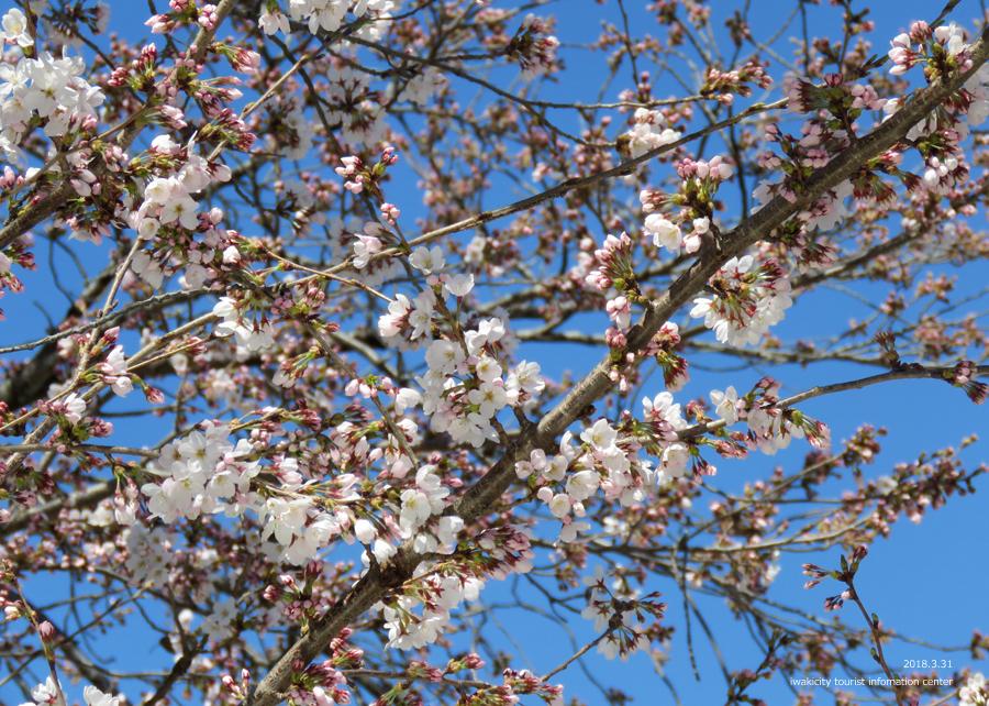 《いわき市桜情報》小川諏訪神社のシダレザクラ 見頃です♪ [平成30年3月31日(土)更新]11