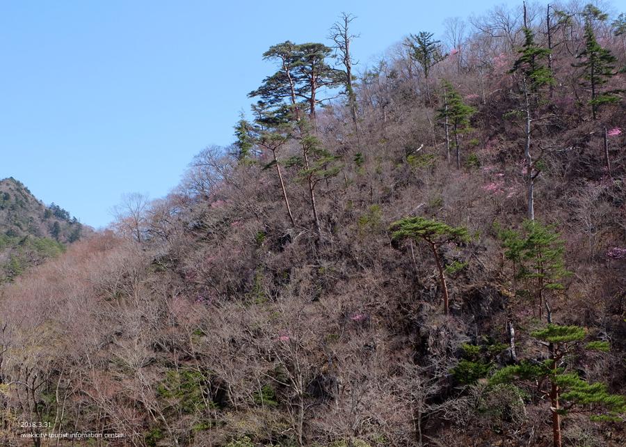 夏井川渓谷 アカヤシオが開花しました! [平成30年3月31日(土)更新]11