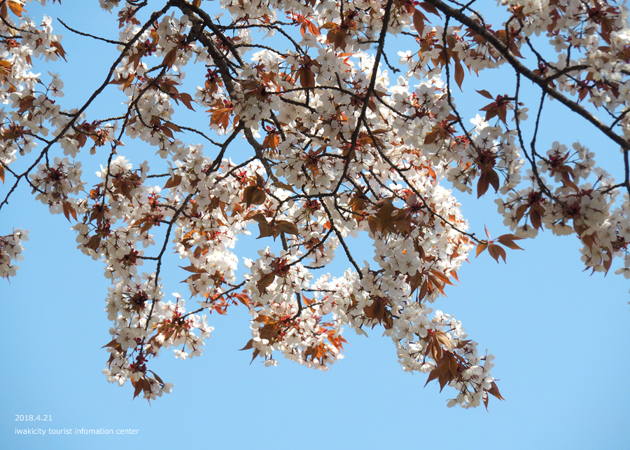 《いわき市桜情報》新田の大山桜が満開です!! [平成30年4月22日(日)更新]11