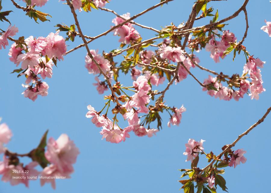 《いわき市桜情報》いわきの里鬼ヶ城の桜 [平成30年4月22日(日)更新]11