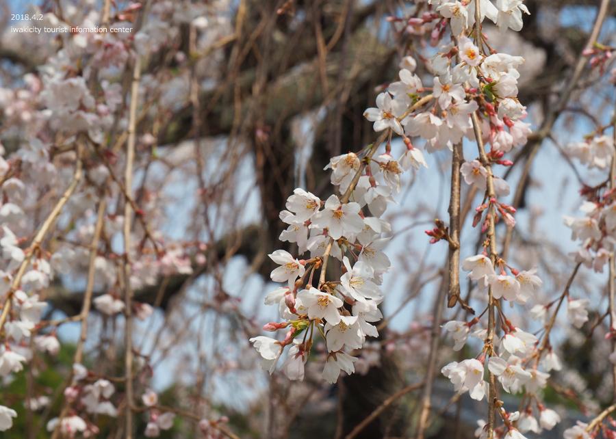 《いわき市桜情報》住善寺のシダレザクラが満開です! [平成30年4月2日(月)更新]11