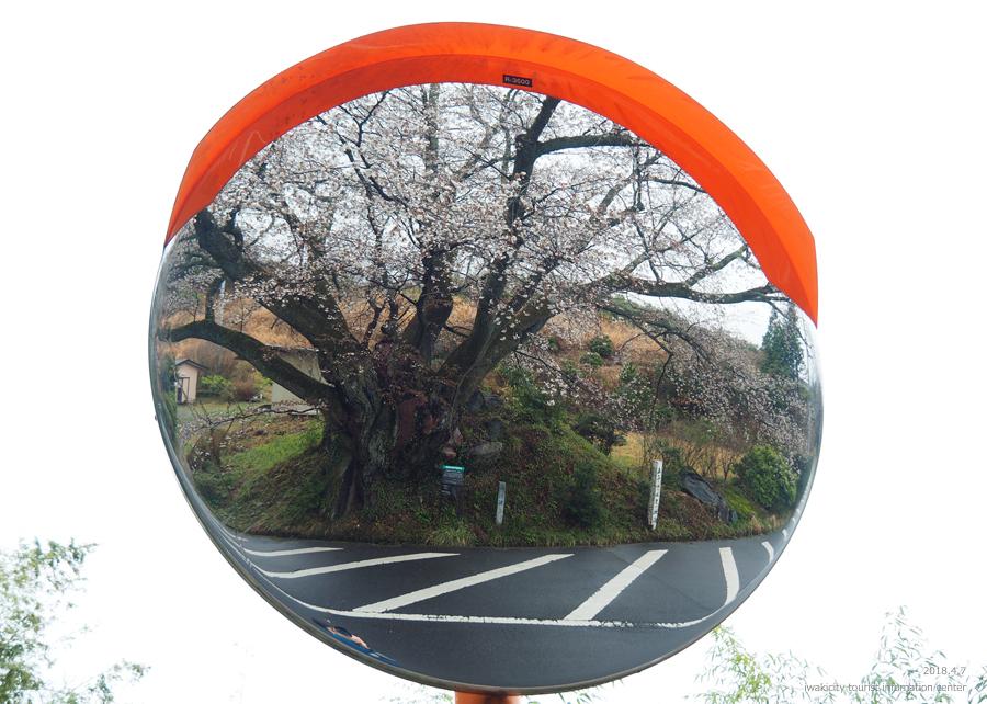 《いわき市桜情報》田人の石割桜がほぼ見頃です!! [平成30年4月8日(日)更新]11
