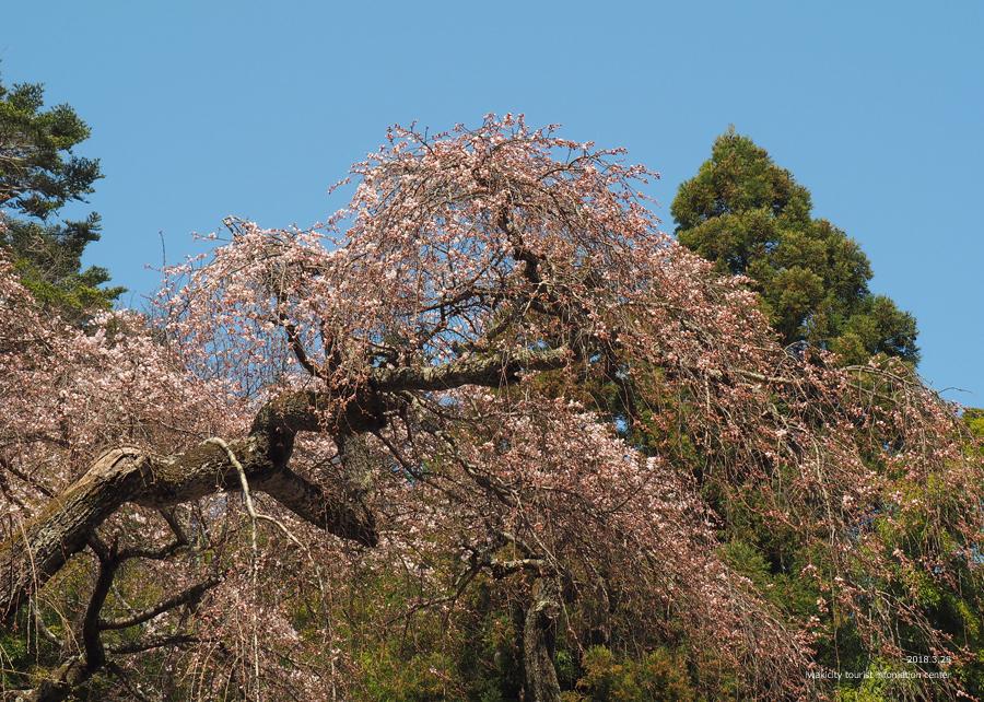《いわき市桜情報》小川諏訪神社のシダレザクラ 開花しました! [平成30年3月28日(水)更新]12