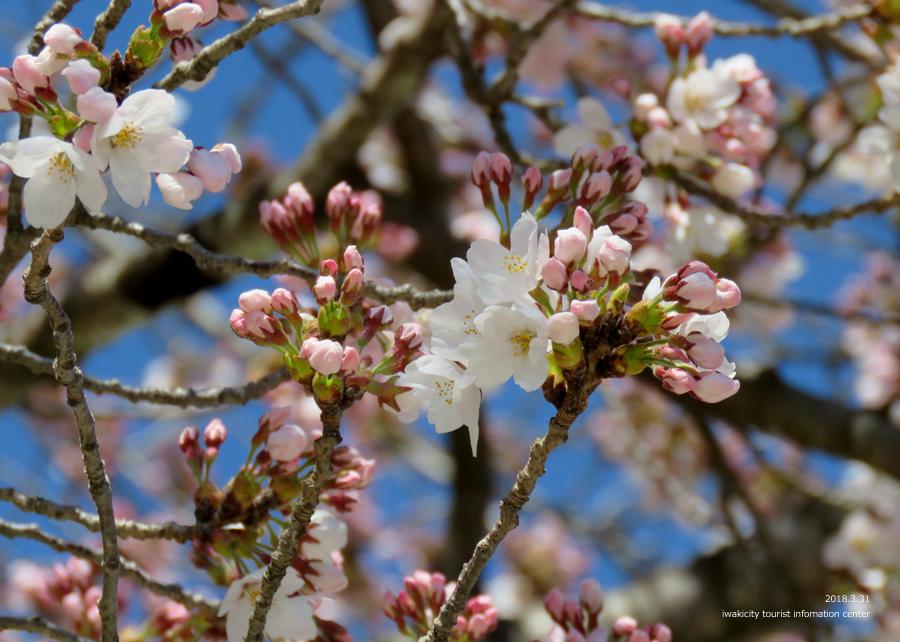 《いわき市桜情報》小川諏訪神社のシダレザクラ 見頃です♪ [平成30年3月31日(土)更新]12