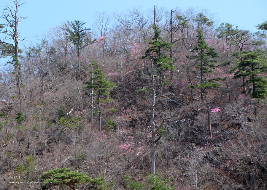 夏井川渓谷 アカヤシオが開花しました! [平成30年3月31日(土)更新]12