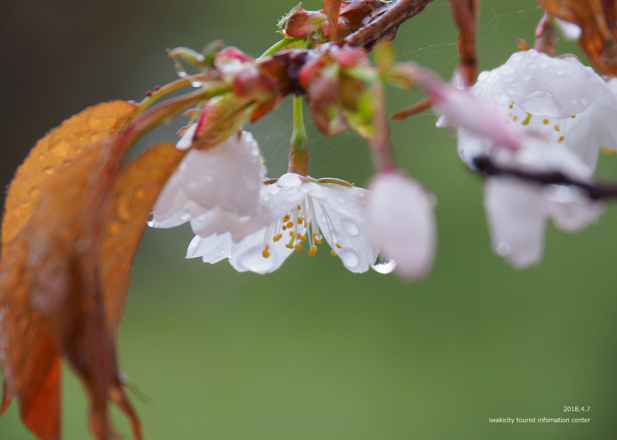 《いわき市桜情報》田人の石割桜がほぼ見頃です!! [平成30年4月8日(日)更新]12