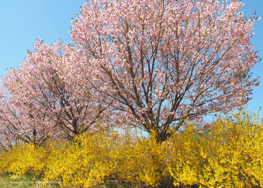 《いわき市桜情報》いわきの里鬼ヶ城の桜 [平成30年4月22日(日)更新]12