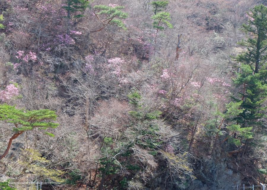夏井川渓谷 アカヤシオが開花しました! [平成30年3月31日(土)更新]13