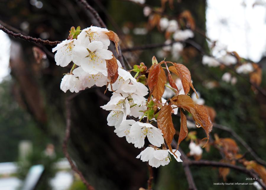 《いわき市桜情報》田人の石割桜がほぼ見頃です!! [平成30年4月8日(日)更新]13