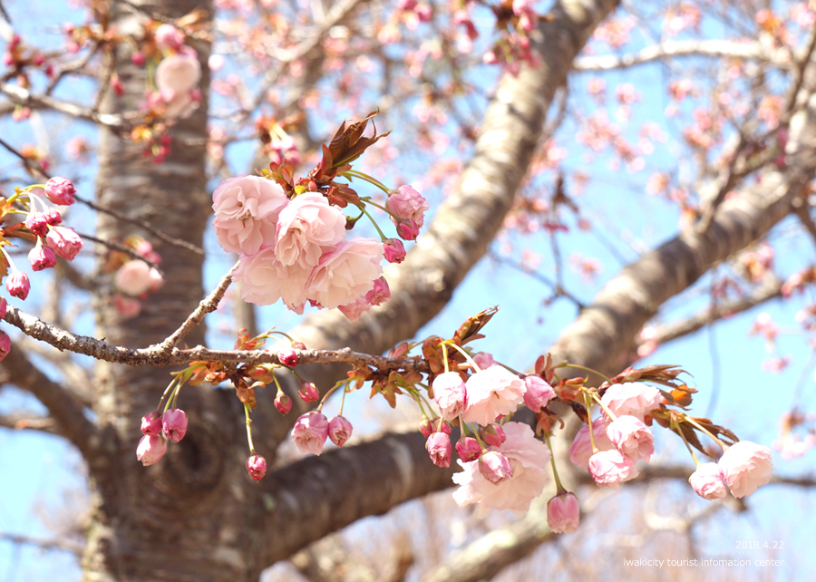 《いわき市桜情報》いわきの里鬼ヶ城の桜 [平成30年4月22日(日)更新]13