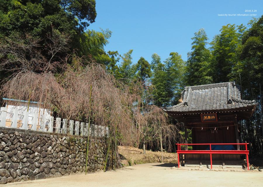《いわき市桜情報》小川諏訪神社のシダレザクラ 開花しました! [平成30年3月28日(水)更新]15