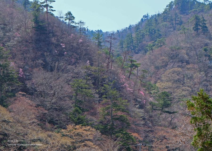 夏井川渓谷 アカヤシオが開花しました! [平成30年3月31日(土)更新]14