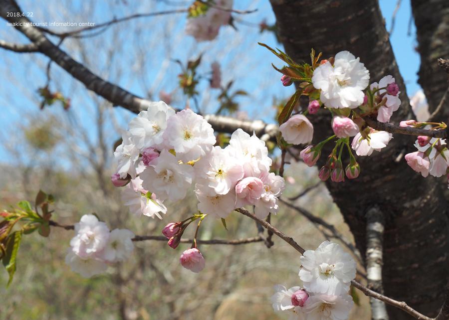 《いわき市桜情報》いわきの里鬼ヶ城の桜 [平成30年4月22日(日)更新]14