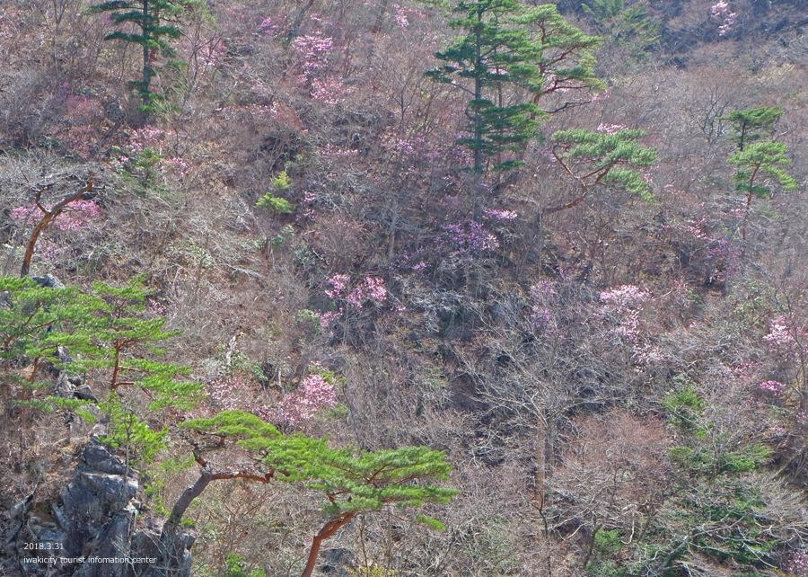 夏井川渓谷 アカヤシオが開花しました! [平成30年3月31日(土)更新]15