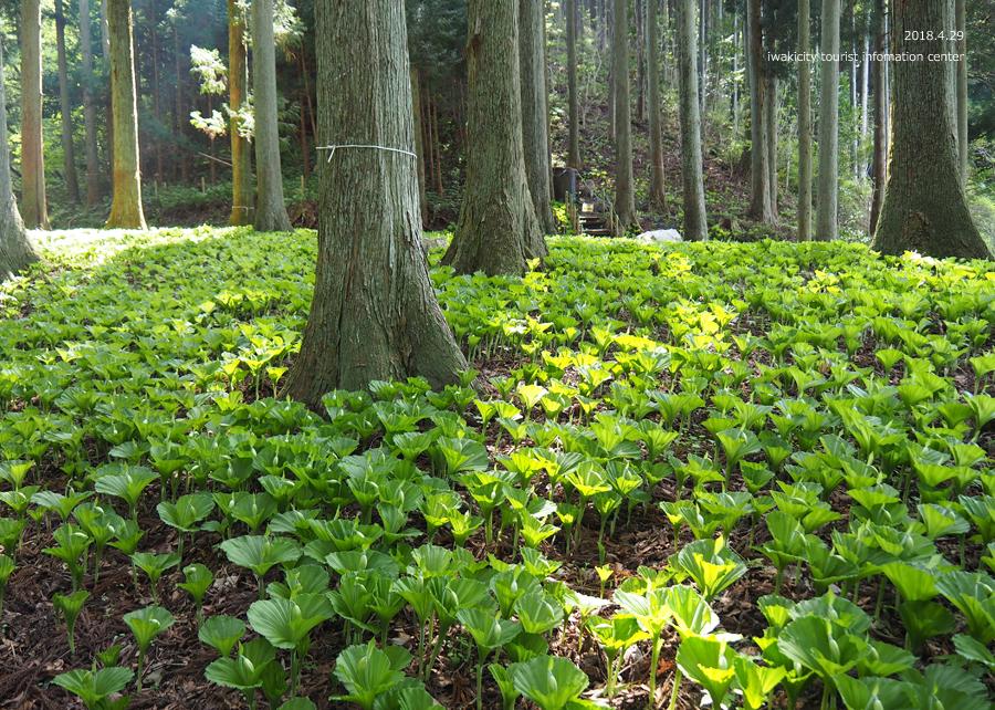 田人町綱木地区のクマガイソウが開花しました! [平成30年4月29日(日)更新]16