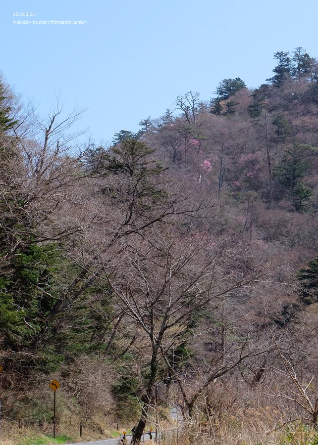 夏井川渓谷 アカヤシオが開花しました! [平成30年3月31日(土)更新]16