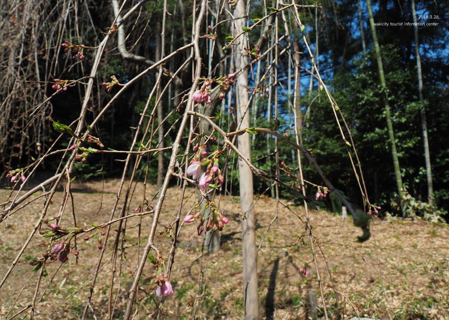 《いわき市桜情報》小川諏訪神社のシダレザクラ 開花しました! [平成30年3月28日(水)更新]18