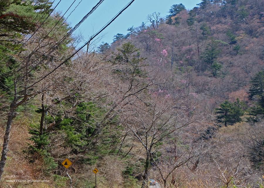 夏井川渓谷 アカヤシオが開花しました! [平成30年3月31日(土)更新]17