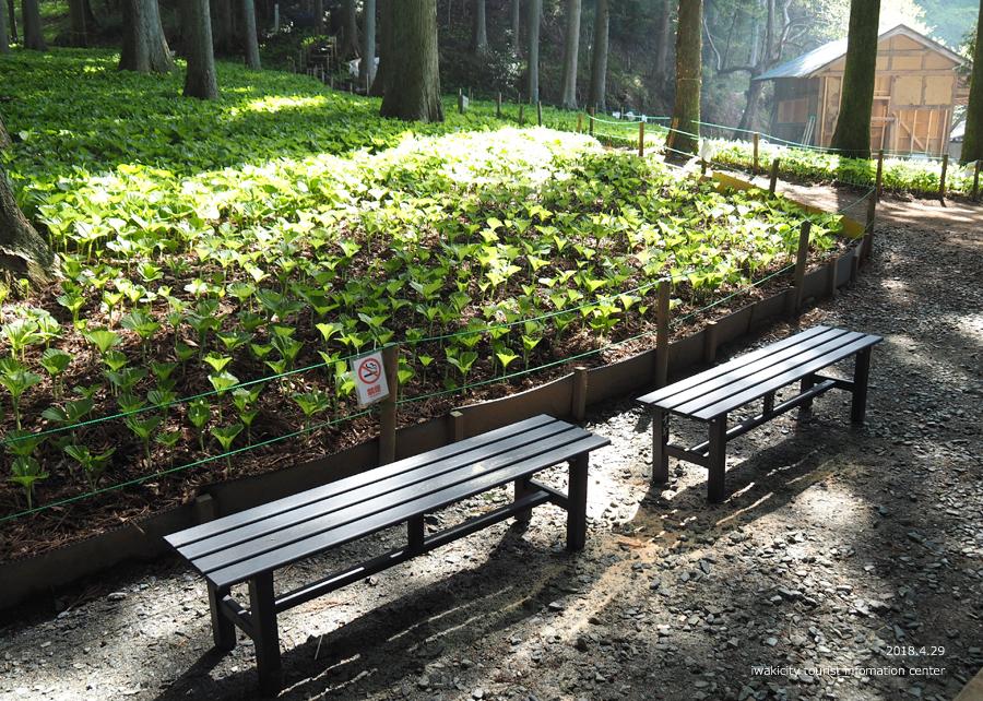 田人町綱木地区のクマガイソウが開花しました! [平成30年4月29日(日)更新]18