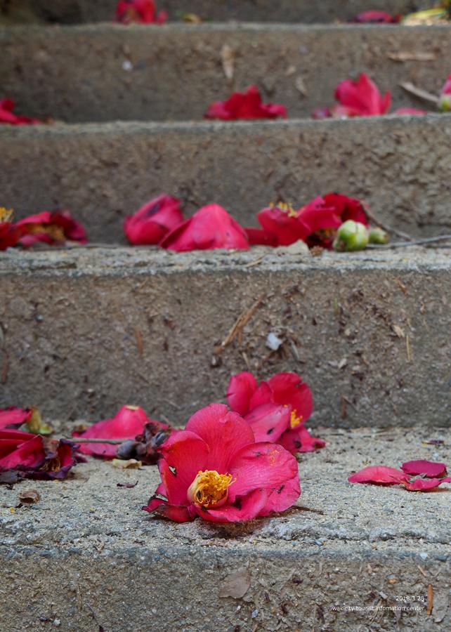 《いわき市桜情報》小川諏訪神社のシダレザクラ 開花しました! [平成30年3月28日(水)更新]19