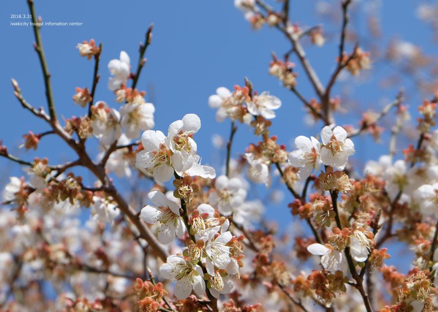夏井川渓谷 アカヤシオが開花しました! [平成30年3月31日(土)更新]18