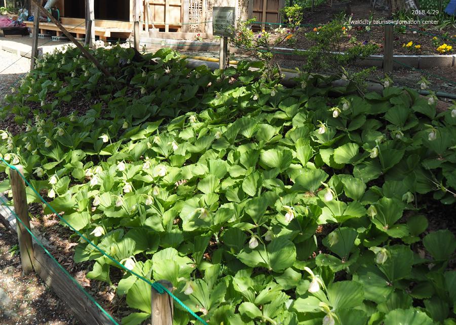 田人町綱木地区のクマガイソウが開花しました! [平成30年4月29日(日)更新]19