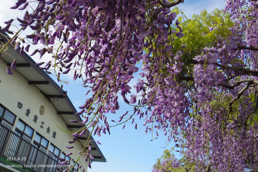 《いわき市花情報》四倉町商工会のフジが開花しました! [平成30年4月20日(水)更新]1