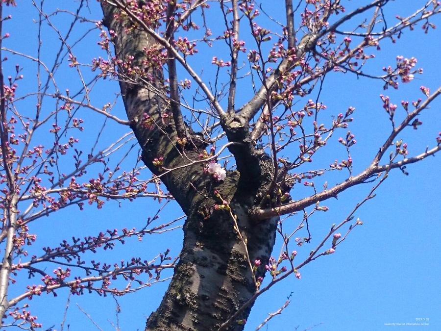 いわき市における桜の開花宣言 [平成30年3月28日(水)更新]2