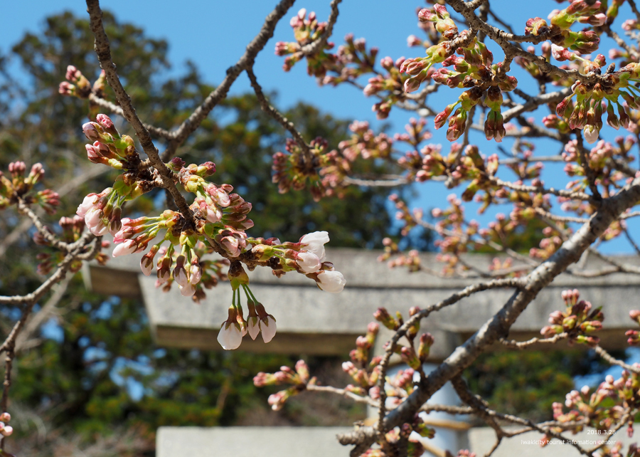 《いわき市桜情報》小川諏訪神社のシダレザクラ 開花しました! [平成30年3月28日(水)更新]2