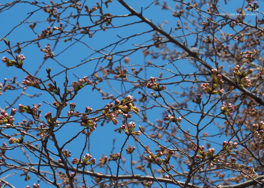 《いわき市桜情報》三島八幡神社のシダレザクラ 咲き始めています! [平成30年3月28日(水)更新]2