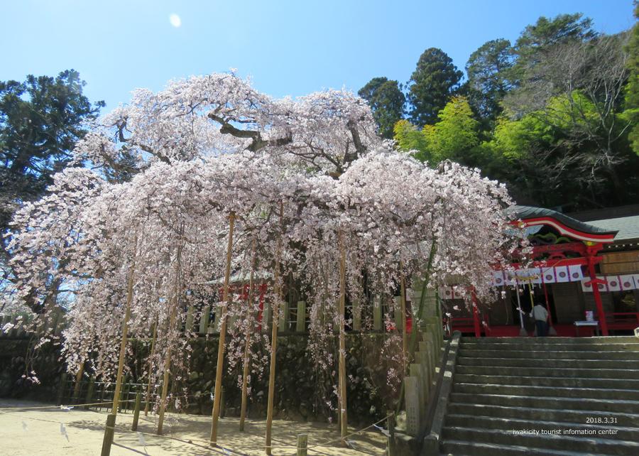 《いわき市桜情報》小川諏訪神社のシダレザクラ 見頃です♪ [平成30年3月31日(土)更新]