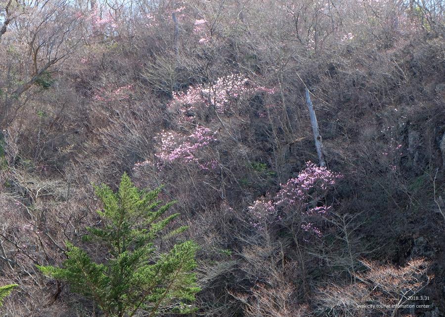 夏井川渓谷 アカヤシオが開花しました! [平成30年3月31日(土)更新]2