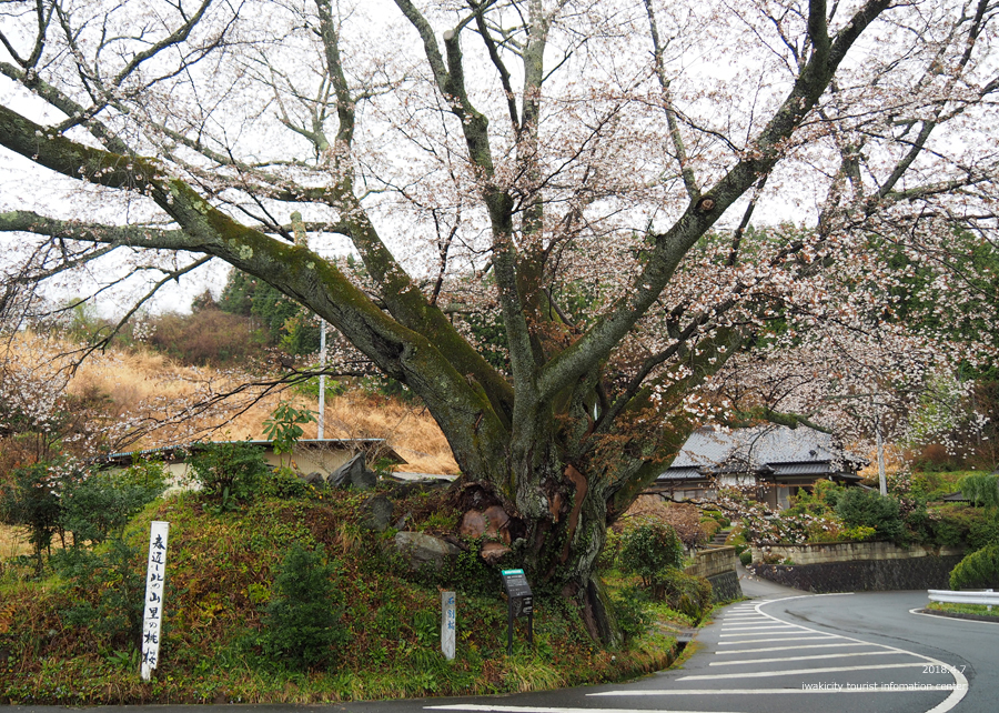 《いわき市桜情報》田人の石割桜がほぼ見頃です!! [平成30年4月8日(日)更新]2