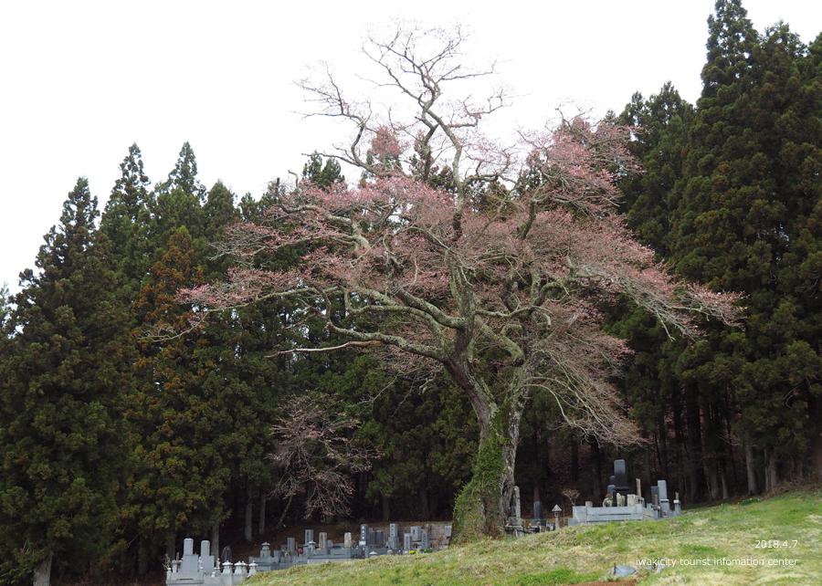 《いわき市桜情報》下三坂の種まきザクラが開花しました! [平成30年4月8日(日)更新]2