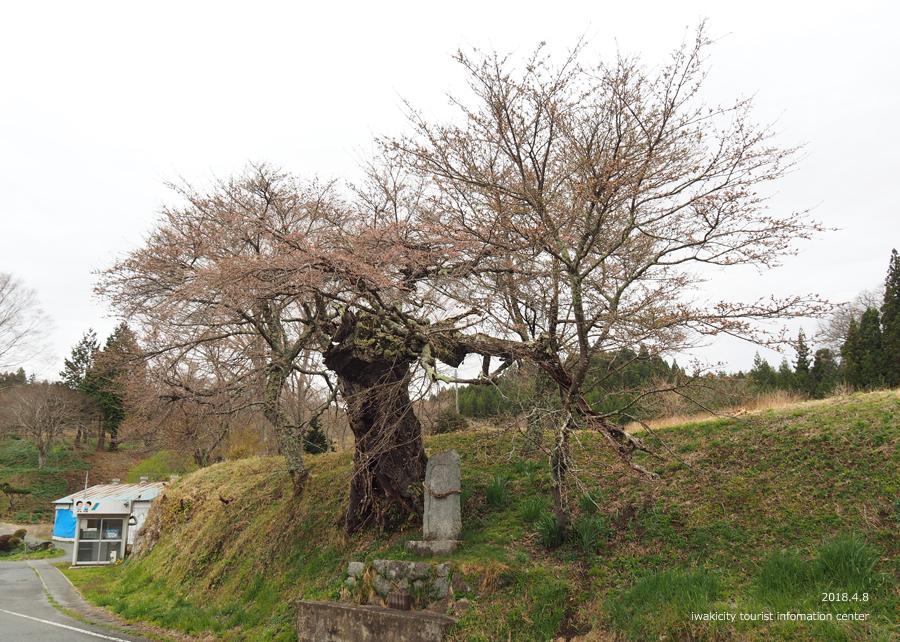 《いわき市桜情報》下三坂の種まきザクラが開花しました! [平成30年4月8日(日)更新]12