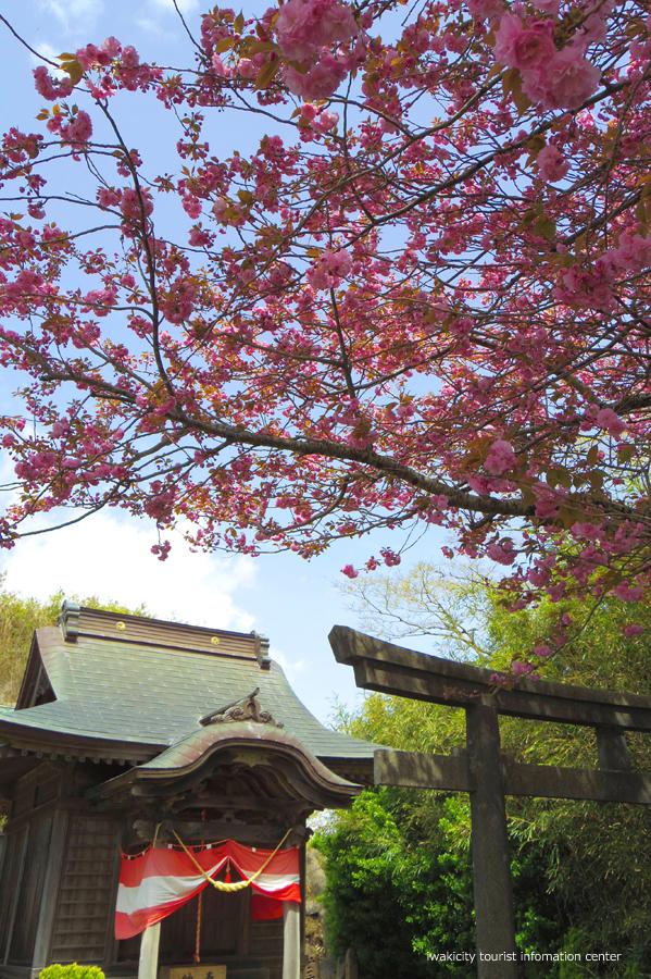 《いわき市桜情報》四倉諏訪神社のボタンザクラとチョウセンボタンが開花しました! [平成30年4月18日(水)更新]2