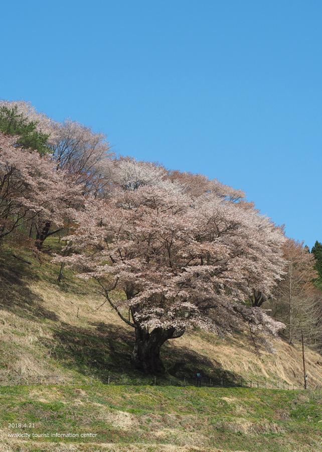 《いわき市桜情報》新田の大山桜が満開です!! [平成30年4月22日(日)更新]2