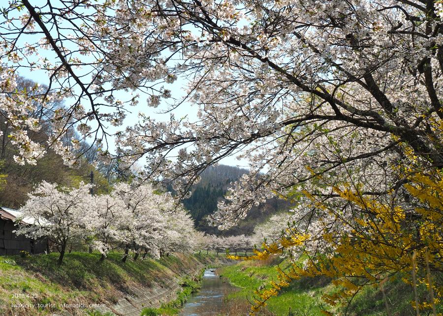 《いわき市桜情報》三阪川のソメイヨシノ [平成30年4月22日(日)更新]2