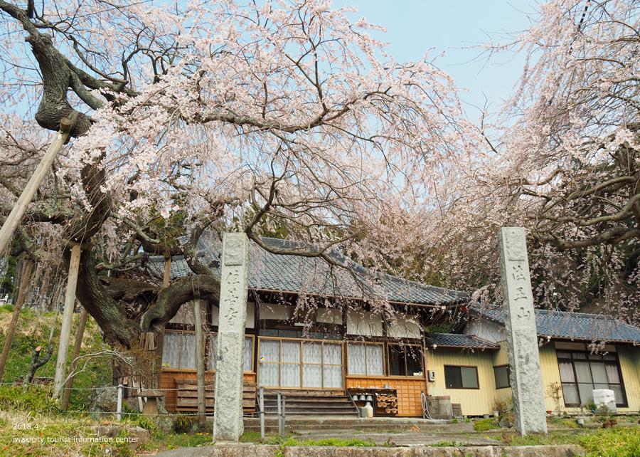 《いわき市桜情報》住善寺のシダレザクラが満開です! [平成30年4月2日(月)更新]2