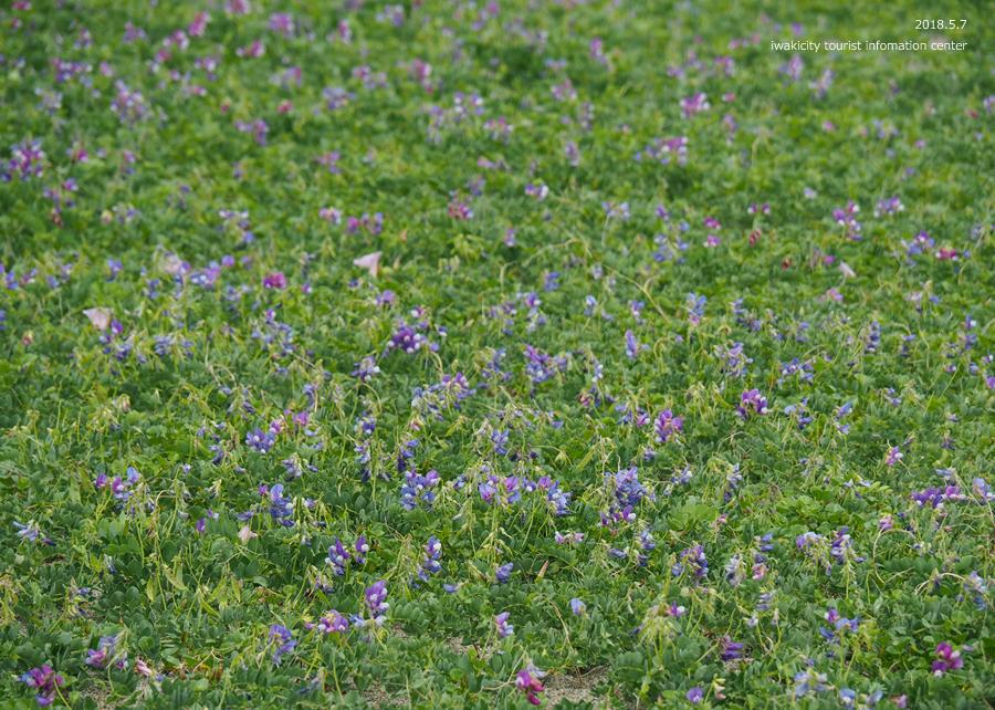 《いわき市花情報》久之浜海岸でハマエンドウ・ハマヒルガオが開花しました♪ [平成30年5月9日(水)更新]2