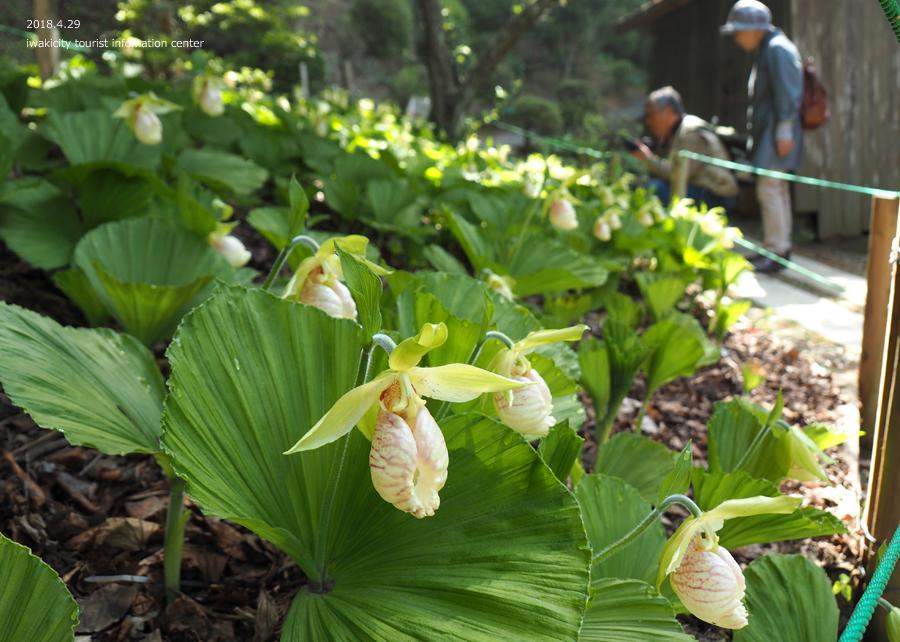 田人町綱木地区のクマガイソウが開花しました! [平成30年4月29日(日)更新]21