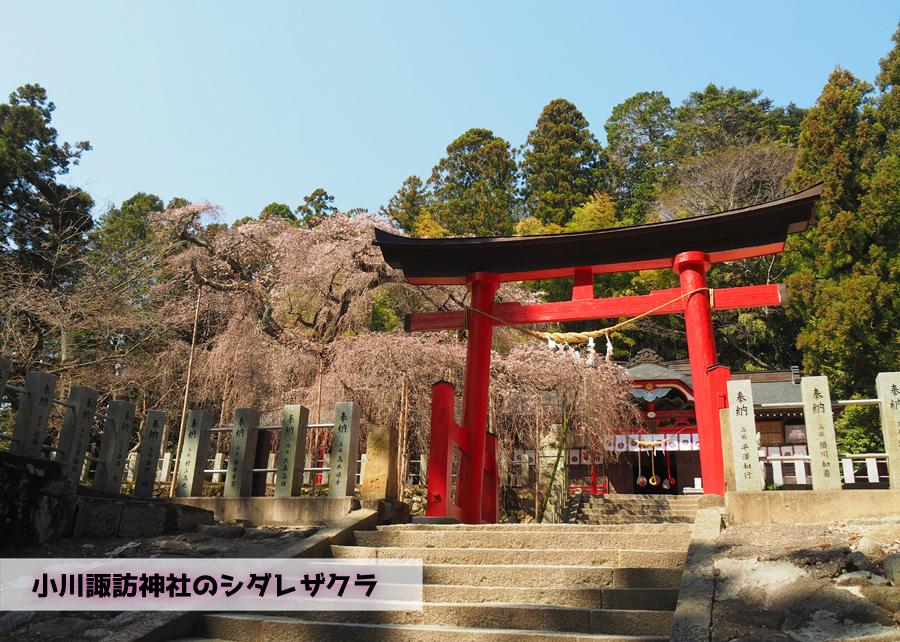 《いわき市桜情報》小川諏訪神社のシダレザクラ 開花しました! [平成30年3月28日(水)更新]トップ