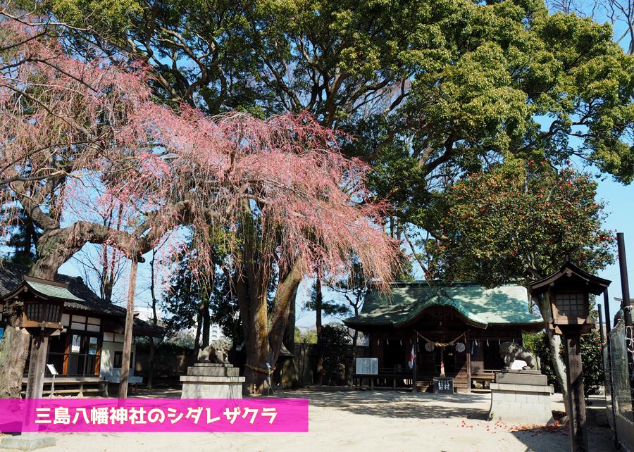 《いわき市桜情報》三島八幡神社のシダレザクラ 咲き始めています! [平成30年3月28日(水)更新]トップ