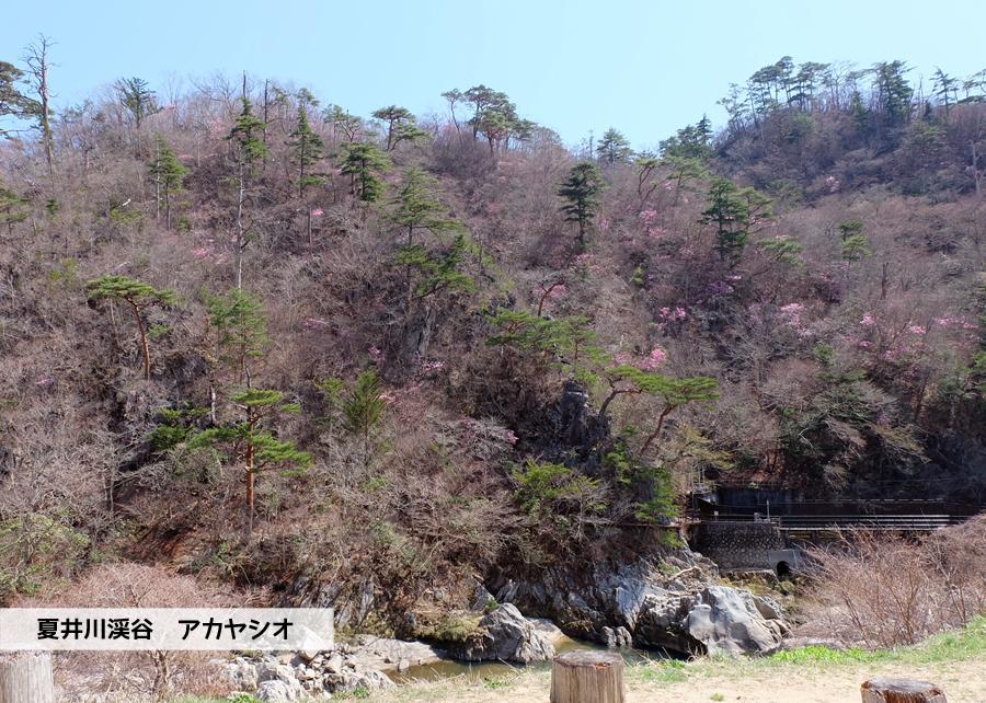 夏井川渓谷 アカヤシオが開花しました! [平成30年3月31日(土)更新]トップ