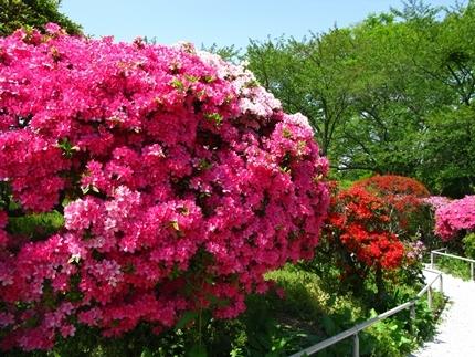 松ヶ岡公園のツツジが見頃です! [平成30年4月22日(日)更新]10