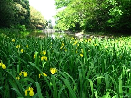 丹後沢公園のキショウブが見頃です! [平成30年5月16日(水)更新]03