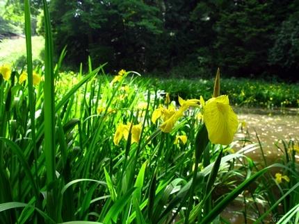 丹後沢公園のキショウブが見頃です! [平成30年5月16日(水)更新]06