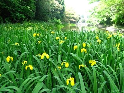 丹後沢公園のキショウブが見頃です! [平成30年5月16日(水)更新]07
