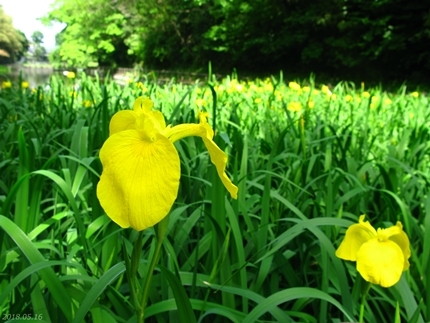 丹後沢公園のキショウブが見頃です! [平成30年5月16日(水)更新]12