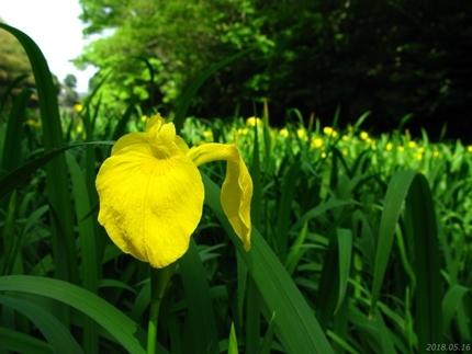 丹後沢公園のキショウブが見頃です! [平成30年5月16日(水)更新]13